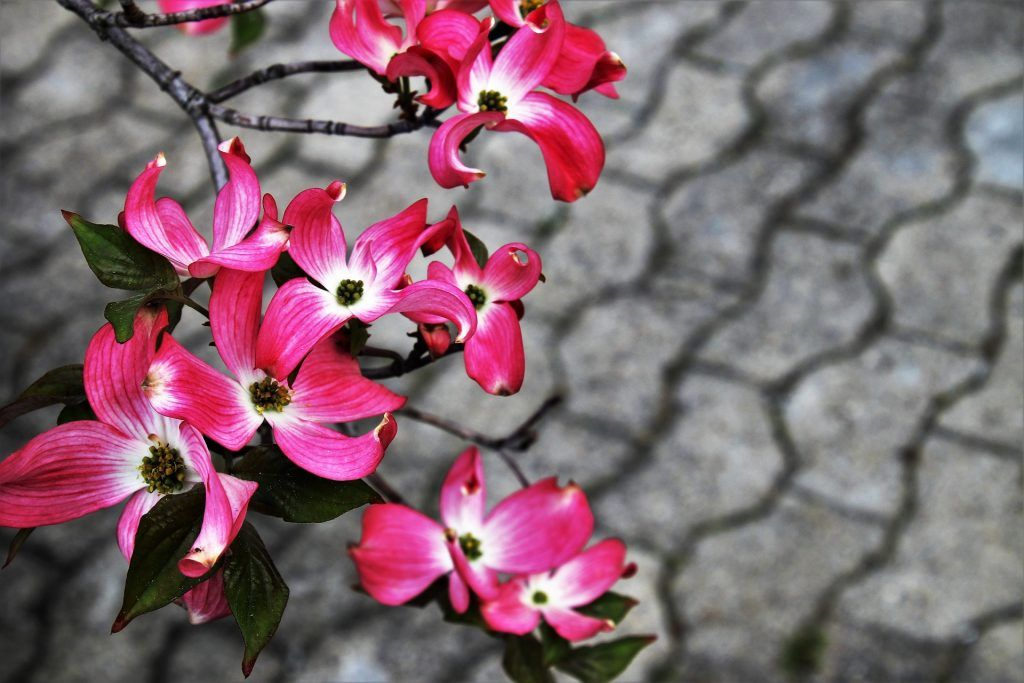 Interlocked concrete seen behind focused pink flowers.