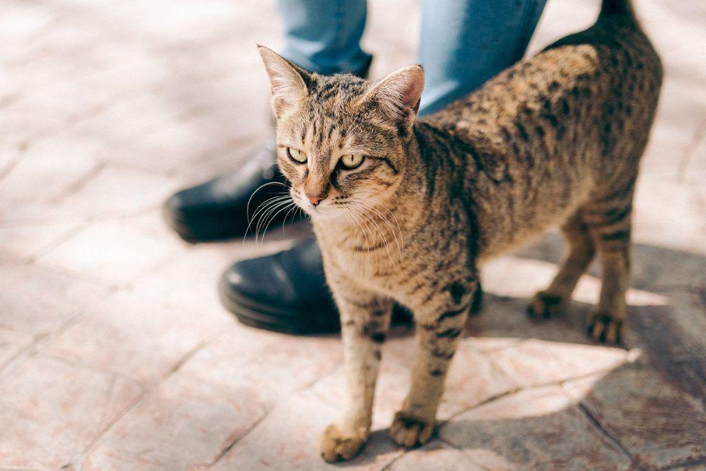 Bengal cat standing on interlocked concrete walkway.