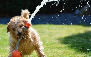 A dog helps out with lawn care, playing with a spraying hose.