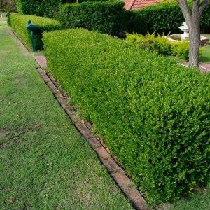 Boxwood Hedge Plant Image