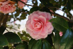 Camellia Flower Image