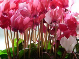 Cyclamen Flower Image