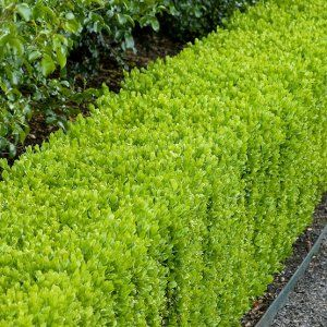 English Boxwood Plant Image