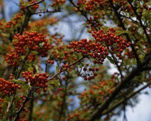 Firethorn Plant Image