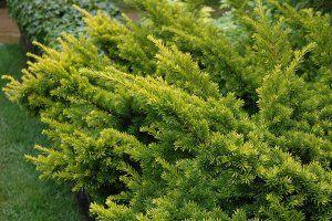 Japanese Yew Plant Image
