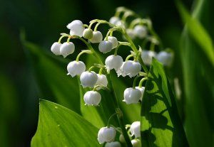 Lily-of-the-Valley Image