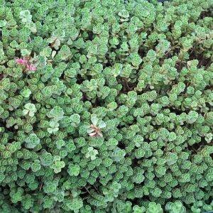 Perennials Sedum Plant Image