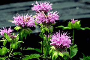 Perennials Wild Columbine Plant Image