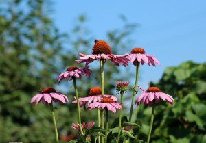 Purple Coneflower Echinacea Image