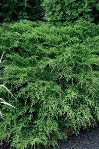 Siberian Cypress Plant Image
