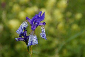 Siberian Iris Schwertlilie Image