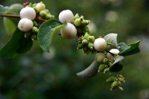 Snowberry Plant Image
