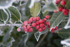 Winterberry Plant Image
