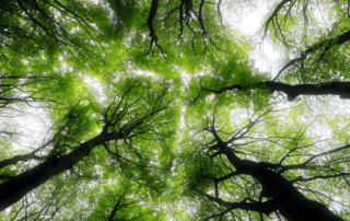 ground-up view of trees overhead